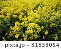 菜の花 黄色 菜の花畑の写真 31833054