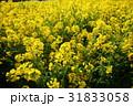 菜の花 黄色 菜の花畑の写真 31833058
