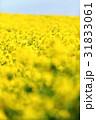 菜の花 黄色 菜の花畑の写真 31833061