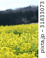 菜の花 黄色 菜の花畑の写真 31833073