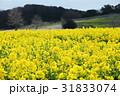 菜の花 黄色 菜の花畑の写真 31833074