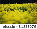 菜の花 黄色 菜の花畑の写真 31833076