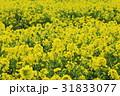菜の花 黄色 菜の花畑の写真 31833077
