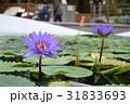 池 紫色 スイレンの写真 31833693