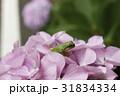 紫陽花 花 七変化の写真 31834334
