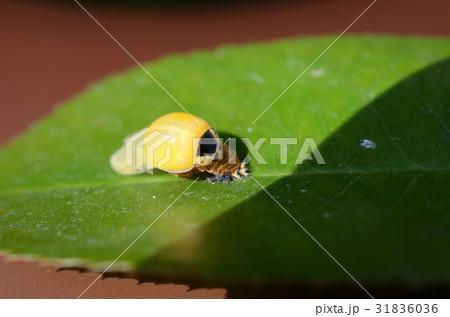 羽化直後の黄色いテントウムシ 31836036