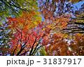 秋 紅葉 木々の写真 31837917