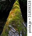 倒木と苔 31839328