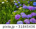 紫陽花 浜名湖ガーデンパーク 31845436