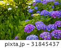 紫陽花 浜名湖ガーデンパーク 31845437