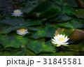 睡蓮 あひる池 サンテパルクたはら [愛知県] 31845581