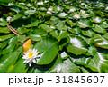 睡蓮 あひる池 サンテパルクたはら [愛知県] 31845607
