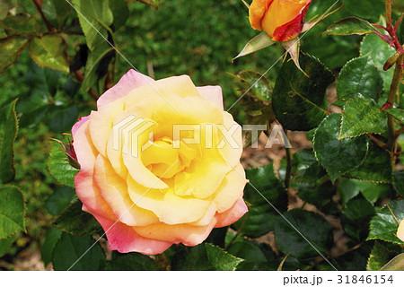 薔薇 monastere de cimiez シミエ修道院 バラ園 31846154
