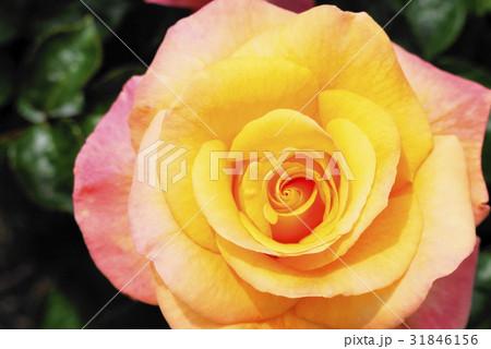 薔薇 monastere de cimiez シミエ修道院 バラ園 31846156
