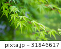 楓 新緑 植物の写真 31846617