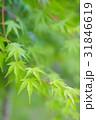 楓 新緑 植物の写真 31846619