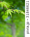 楓 新緑 植物の写真 31846621