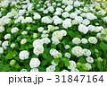 花 白 紫陽花の写真 31847164