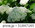 花 白 紫陽花の写真 31847165