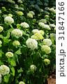 花 白 紫陽花の写真 31847166