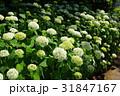 花 白 紫陽花の写真 31847167