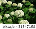 花 白 紫陽花の写真 31847168