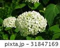 花 白 紫陽花の写真 31847169