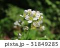 蝦夷山ワサビの花 31849285