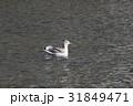 セグロカモメ (背黒鴎) その1。 Herring gull 31849471