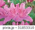 花 春 ピンクの写真 31853310
