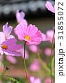 コスモス 花 ピンクの写真 31855072