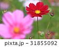 コスモス 秋桜 花の写真 31855092