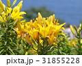ユリ 百合 花の写真 31855228