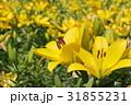 ユリ ゆり 百合の写真 31855231