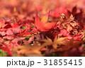 紅葉 もみじ 秋の写真 31855415