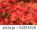 紅葉 もみじ 秋の写真 31855416