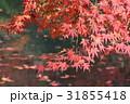 紅葉 もみじ 秋の写真 31855418