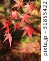紅葉 もみじ 秋の写真 31855422