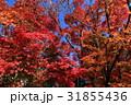 日本の紅葉 31855436
