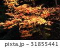 紅葉 もみじ 秋の写真 31855441