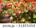 日本の紅葉 31855458