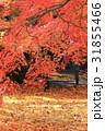 紅葉 もみじ 秋の写真 31855466