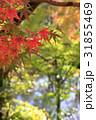 紅葉 もみじ 秋の写真 31855469