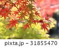 紅葉 もみじ 秋の写真 31855470