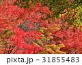 日本の紅葉 31855483