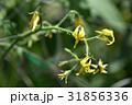 トマトの花 31856336