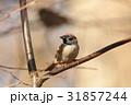 すずめ スズメ 雀の写真 31857244