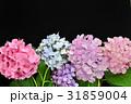 あじさい アジサイ 花の写真 31859004