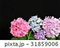 あじさい アジサイ 花の写真 31859006