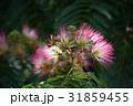 合歓の木 花 ネムノキの写真 31859455